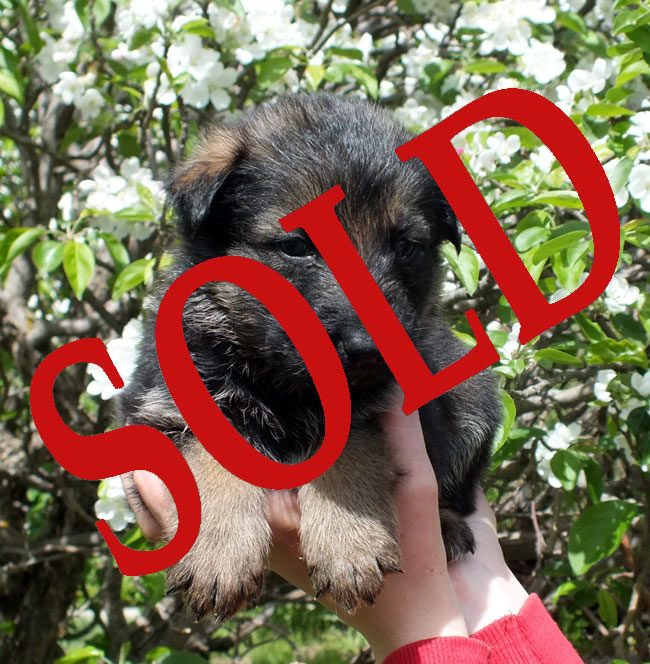 blk-sable-male---sold.jpg