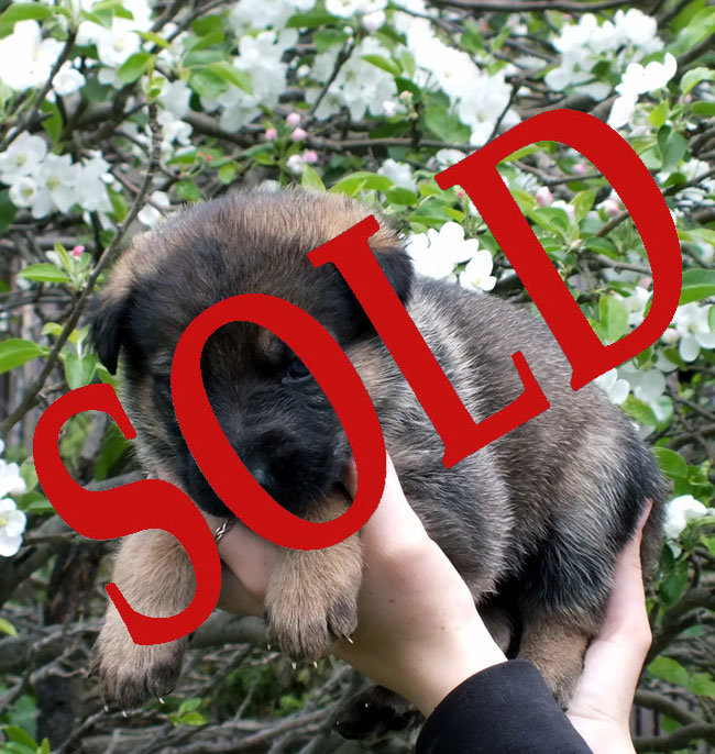 sable-male-sold.jpg